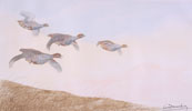 19 Vol de Perdreaux - Partridges flying