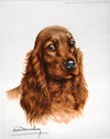 25 Tête de Cocker rouge - Red Cocker Spaniel head