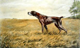 64 braque - German Pointer