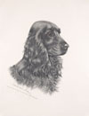 26 Tête de Cocker noir male - Black Cocker Spaniel head (Original)